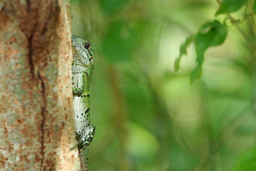 Felgroene hagedis (Lacertilia) van Astrid Brouwers