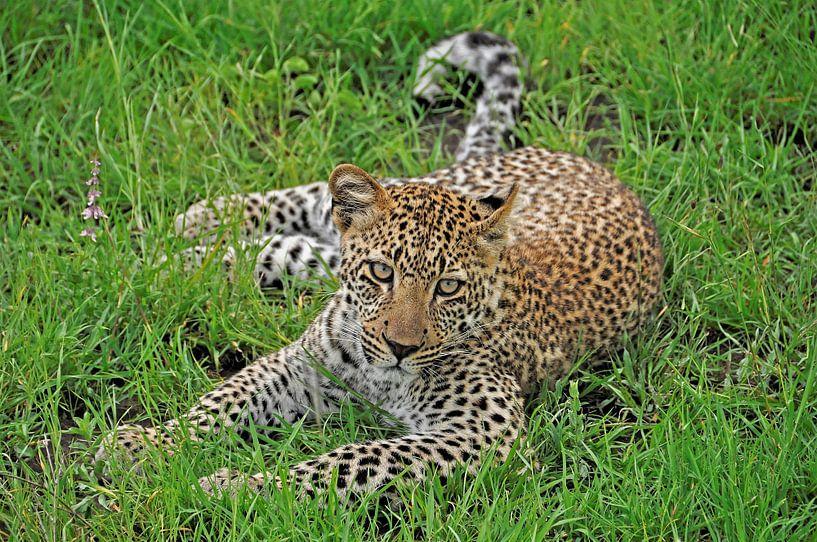 Leopard von Esther van der Linden
