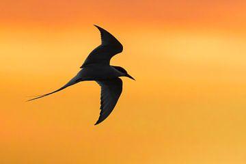 Küstenseeschwalbe (Sterna paradisaea) im Flug