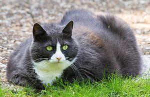 Dikke kat in de tuin van