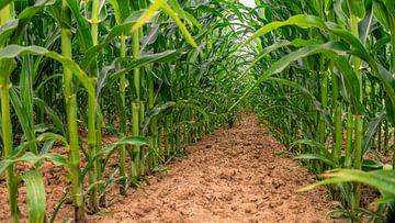 In het maïsveld van Mi Vidas Fotografie