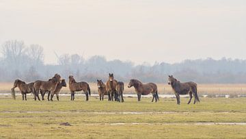 Exmoor-Ponys auf der Wiese 6. von Marcel Kieffer