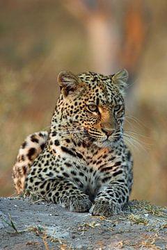 Leopard in Okavango