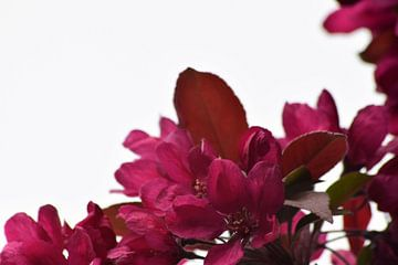 Lentebloesem in volle glorie van Lendy Fotografie .