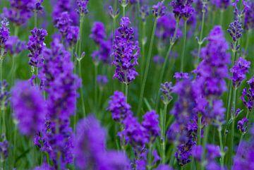 Green and purple von Johan Lambrix
