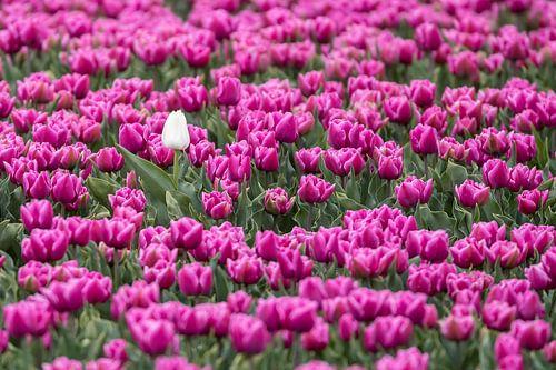 1 witte tulp von Niels  de Vries