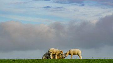 Moutons sur la digue de Terschelling sur Dirk van Egmond