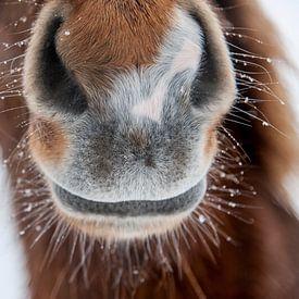 Islandpferde  | IJslandse paarden avatar
