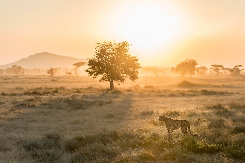 Cheetah in ochtendlicht van Peter Vruggink