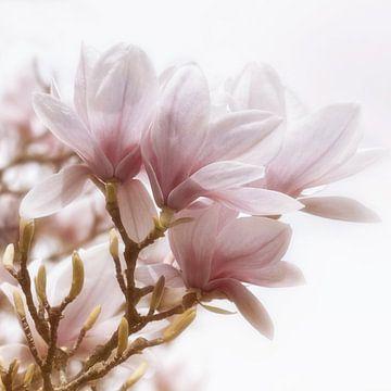 Fleur de magnolia sur Violetta Honkisz