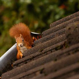 Eichhörnchen - Menschlein, deine Regenrinne ist sehr gemütlich! von Meleah Fotografie