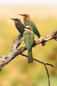Bijeneters op een tak in Botswana van