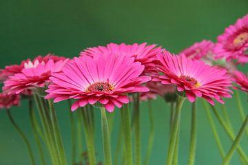 Gerbera Bloemen Turquiose - Asteraceae van Christel Bekkers
