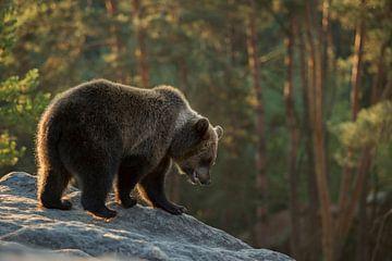auf Erkundungstour... Europäischer Braunbär *Ursus arctos* von wunderbare Erde
