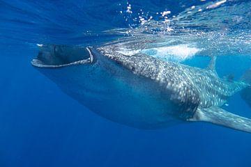 Etende walvishaai in de Caraïbische Zee van