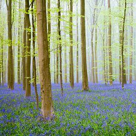 Bluebell hill in a Beech Tree forest during a springtime morning von Sjoerd van der Wal Fotografie