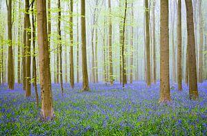 Bluebell hill in a Beech Tree forest during a springtime morning von Sjoerd van der Wal