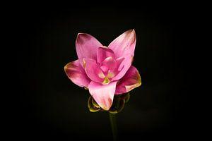Carcuma. prachtige snijbloem ook wel Thaise tulp genoemd