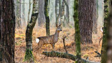 Ree in den niederländischen Wäldern auf der Lauer von Maarten Oerlemans