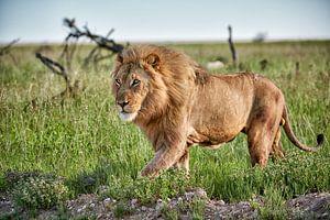 Mannelijke leeuw patrouilleert door het gebied