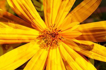 Sonnenhut , Blumen , abstrakt,  (Rudbeckia fulgida) von Torsten Krüger
