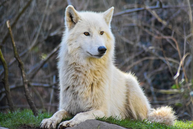 Wolf von Esther van Engen