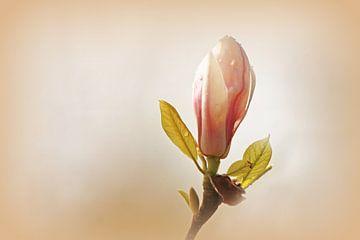 Magnolie von Renate Dohr