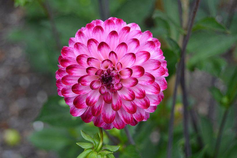 Chrysanthemum roze van Patricia Leeman
