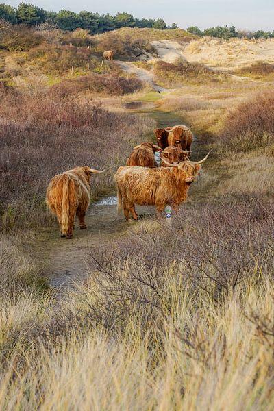 Schottischer Hochlandbewohner in der Düne von Dirk van Egmond