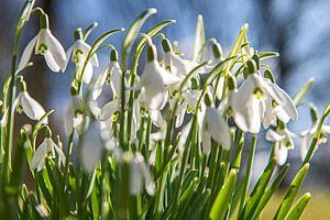 Tere witte sneeuwklokjes kondigen de lente aan. van Hanneke Luit