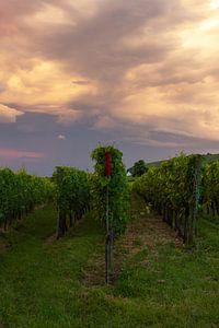 Wijnvelden in de Elzas, Frankrijk tijdens zonsondergang