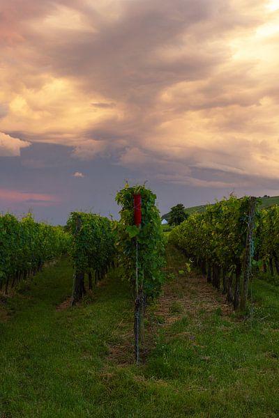Wijnvelden in de Elzas, Frankrijk tijdens zonsondergang van Discover Dutch Nature