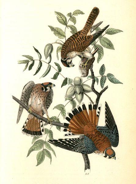 Havik, Sparrow Hawk., Audubon, John James, 1785-1851 van Liszt Collection