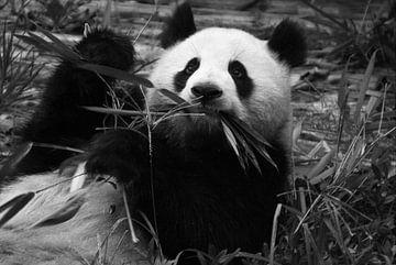 Pandabeer van Gert-Jan Siesling