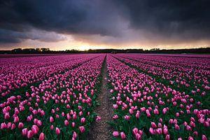 Storm aan het tulpenveld van