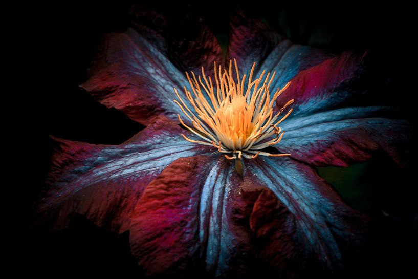 Clematisblüte van Holger Debek