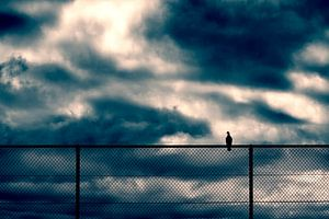 Duif op een hek. van