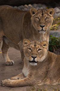 twee kattenmeisjes vriendin. Leeuwinnetje is een grote roofzuchtige sterke en mooie Afrikaanse kat.