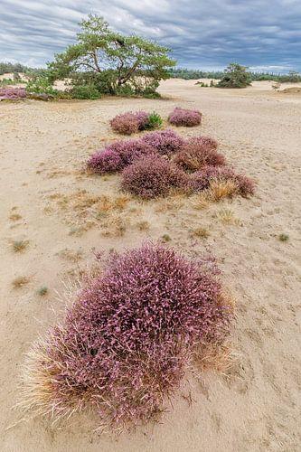 Paarse Heide op het Hulshorster Zand, Veluwe, Nederland