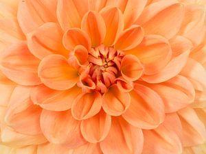 Oranje chrysant / Close up chrysanthemum flower van