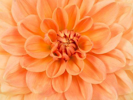 Oranje chrysant / Close up chrysanthemum flower von Elles Rijsdijk