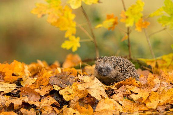 Egel in herfstsfeer