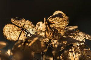 Hortensia in de herfstzon van