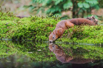 Drinkende eekhoorn / Drinking squirrel  van Anna Stelloo