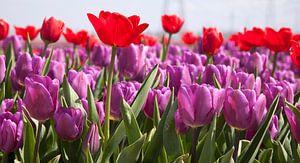 Rode en paarse tulpen