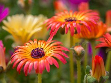 Prachtige gekleurde ijsbloemen van Frank Hoekzema
