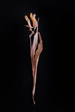 Anmutige getrocknete gelbe Tulpe von Karel Ham