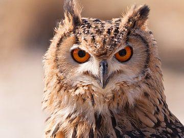 Uil (owl) van Brian Morgan