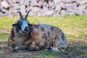 Ein Jacob-Schaf liegt entspannt auf einer Wiese und genießt den Tag von Matthias Korn