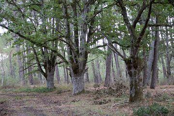 Oude meerstammige eiken (Quercus robur). van whmpictures .com